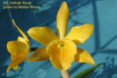 Bc Daffodil Muse by Marilyn Moser
