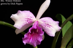 Blc Winnie Makaea by Dick Pippen