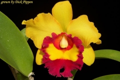 Blc Chunyeah by Dick Pippen