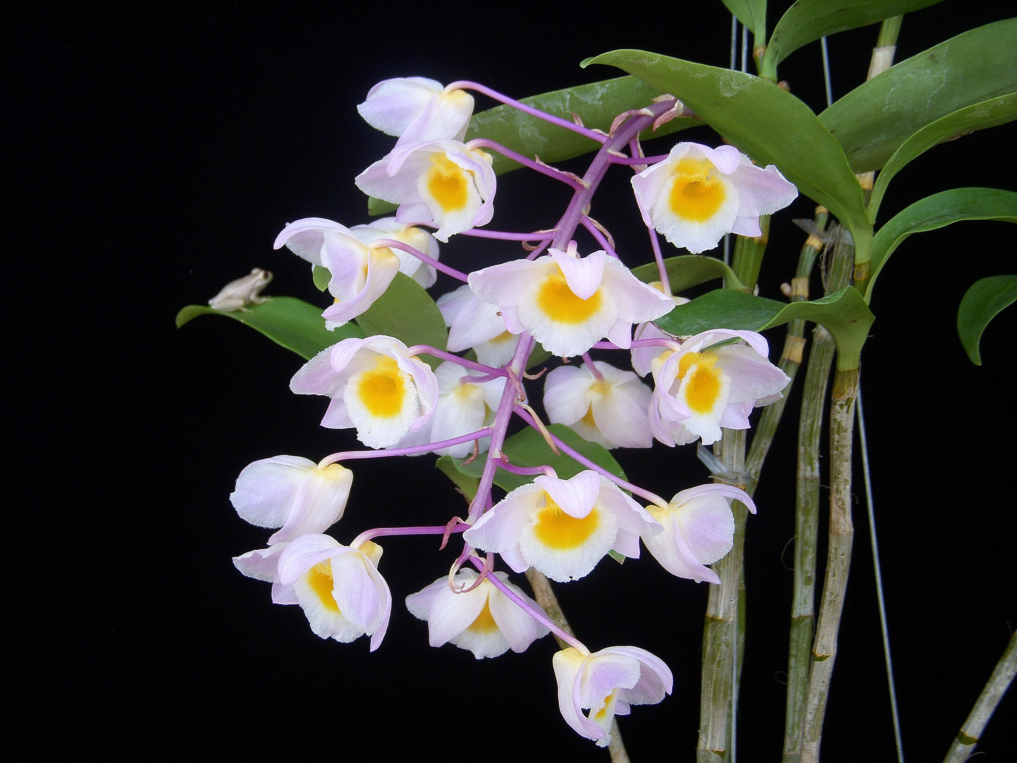 http://www.naplesorchidsociety.org/wp-content/gallery/dendrobiums/dendrobium_amabile.jpg