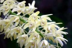 Dendrobium speciosum var compactum by Jim Longwell