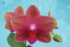 Phal Fortune Buddah x Sara Lee by Marilyn Moser