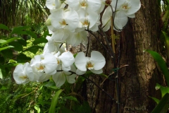 Phalaenopsis in Yard by Maria Davis