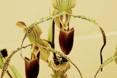 Paph. St. Swithin x Paph. Gary Romagna owned by Jim Longwell