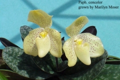 Paph Concolor by Marilyn Moser