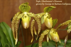 Paph Oberhausens Diament by George and Barbara Gallipeau