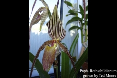 Paph rothschildianum by Ted Moore