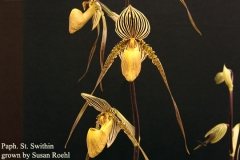 Paph St Swithin by Susan Roehl