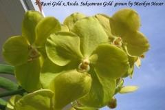 V Rrasri Gold x Ascda Suksamran Gold by Marilyn Moser
